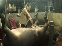 Bắt quả tang đối tượng bơm nước để tăng trọng lượng gia súc