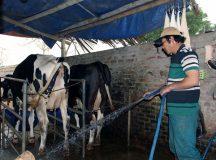 Nuôi bò sữa, thu tiền tỷ mỗi năm