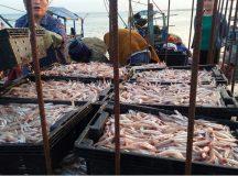 Ngư dân trúng 'lộc biển' với khoang tàu đầy cá cơm