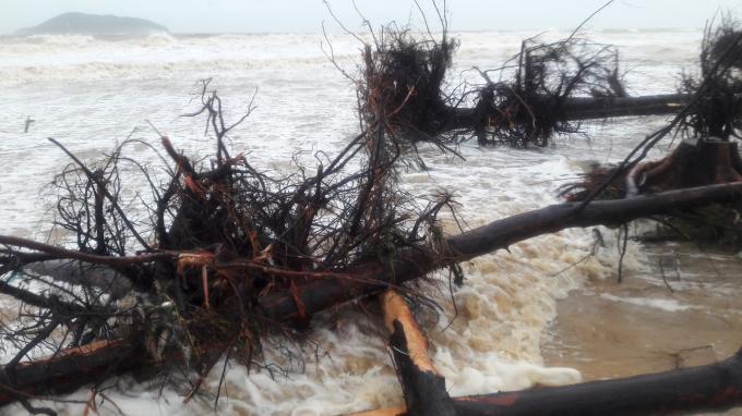Hàng loạt cây phi lao lớn ven biển bị bão đánh gục.